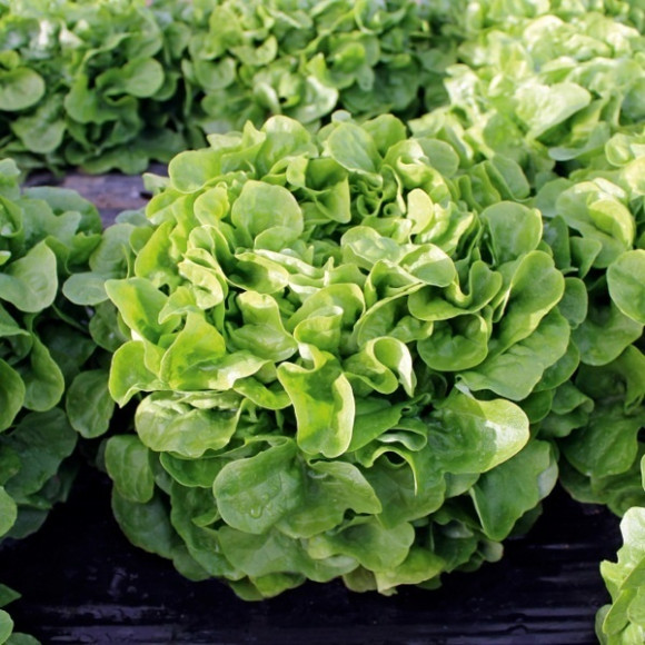 Salades abri