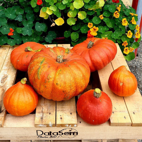 Courges, Patissons & Potimarrons